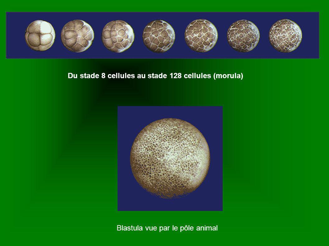 Du stade 8 cellules au stade 128 cellules (morula)