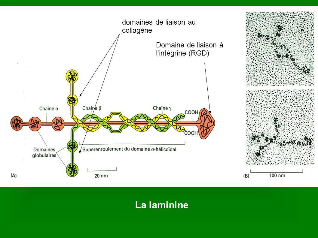 La laminine domaines de liaison au collagène