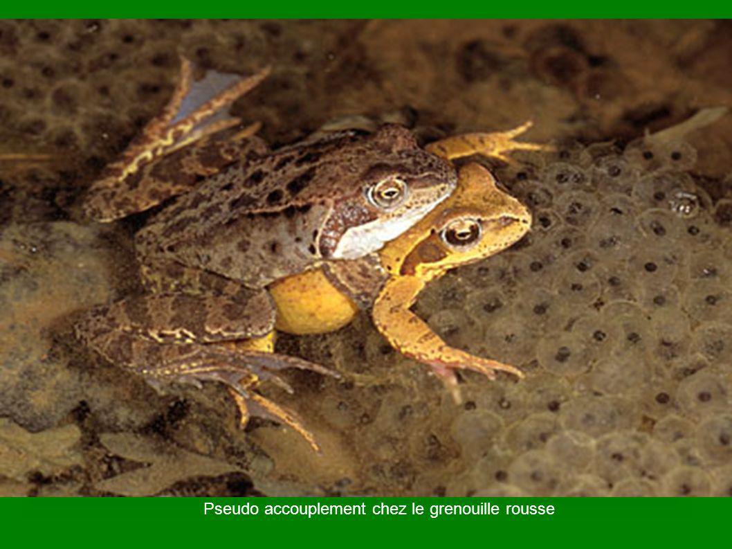 Pseudo accouplement chez le grenouille rousse