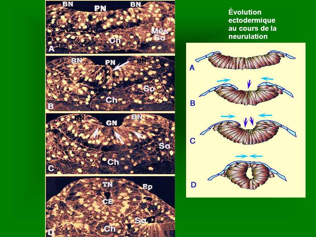 Évolution ectodermique