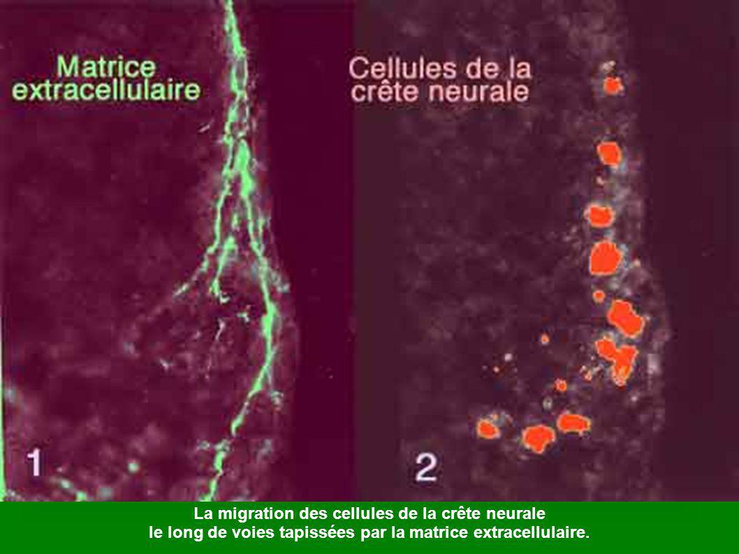 La migration des cellules de la crête neurale