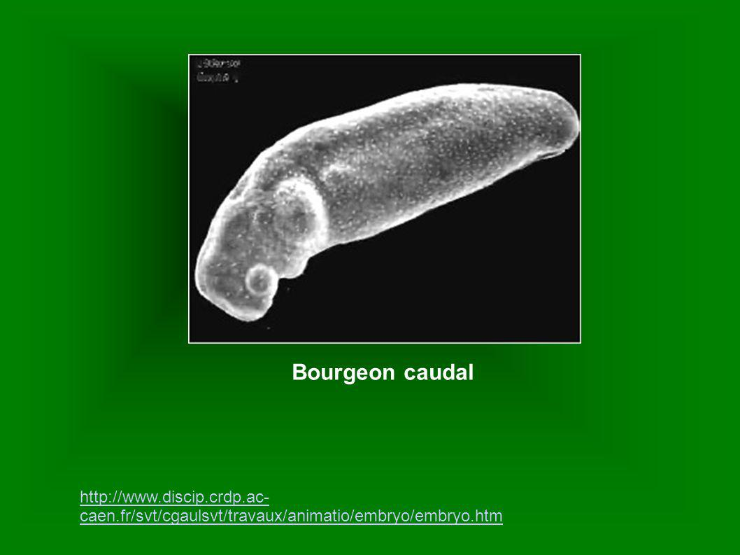 Bourgeon caudal http://www.discip.crdp.ac-caen.fr/svt/cgaulsvt/travaux/animatio/embryo/embryo.htm