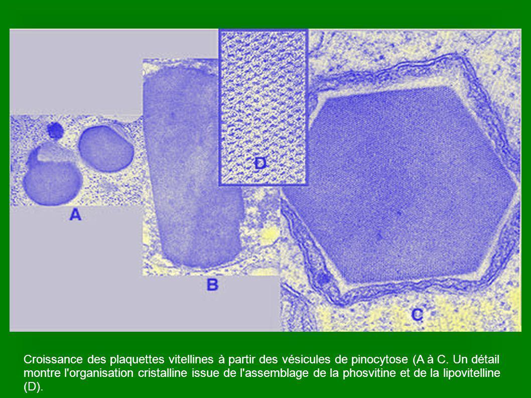 Croissance des plaquettes vitellines à partir des vésicules de pinocytose (A à C.