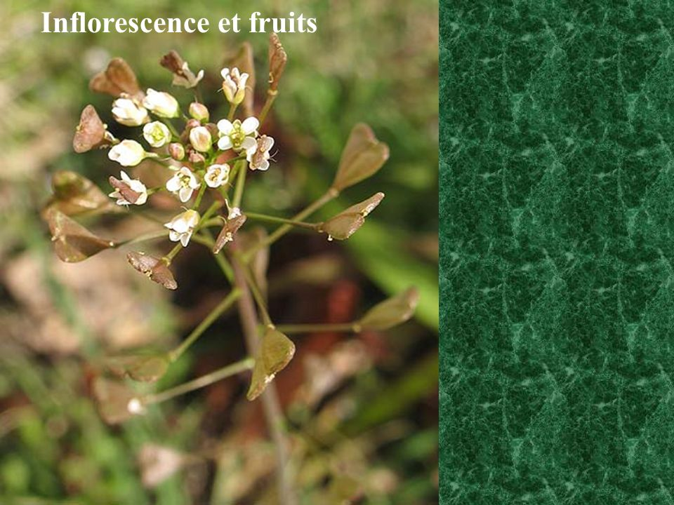 Inflorescence et fruits