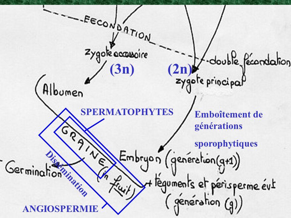 (3n) (2n) SPERMATOPHYTES Emboîtement de générations sporophytiques