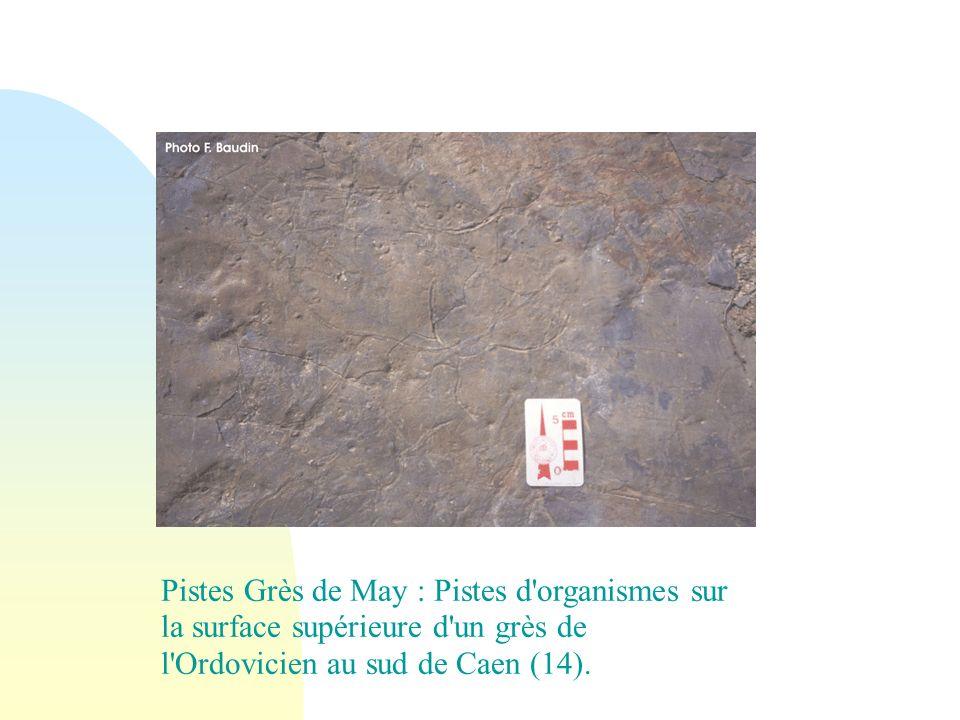 29/05/08 Pistes Grès de May : Pistes d organismes sur la surface supérieure d un grès de l Ordovicien au sud de Caen (14).