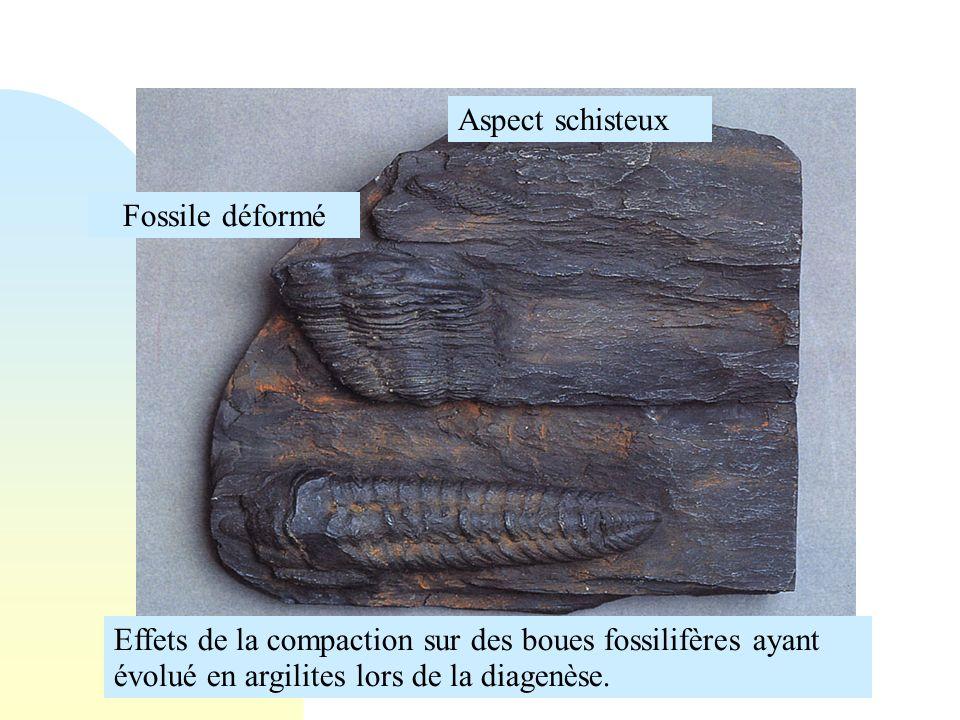 Aspect schisteux Fossile déformé