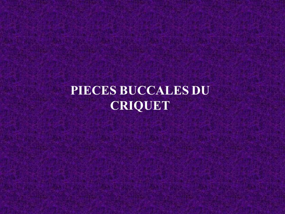 PIECES BUCCALES DU CRIQUET