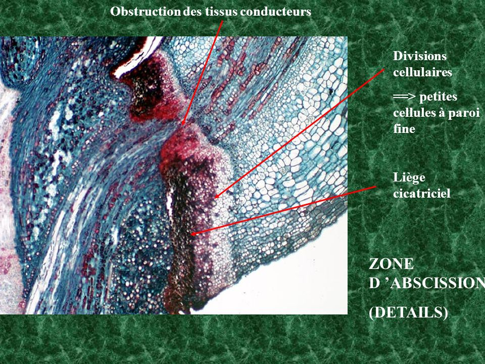 ZONE D 'ABSCISSION (DETAILS) Obstruction des tissus conducteurs