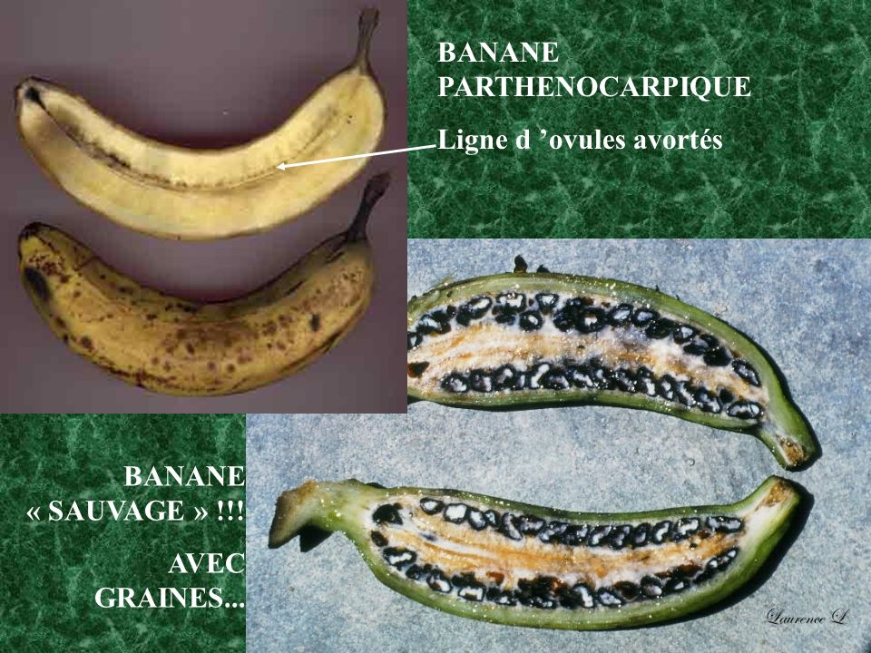 BANANE PARTHENOCARPIQUE