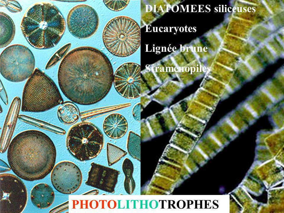 PHOTOLITHOTROPHES DIATOMEES siliceuses Eucaryotes Lignée brune