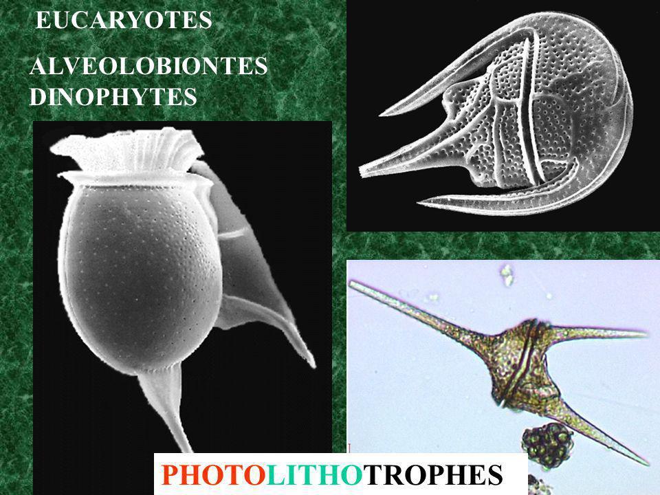 EUCARYOTES ALVEOLOBIONTES DINOPHYTES PHOTOLITHOTROPHES