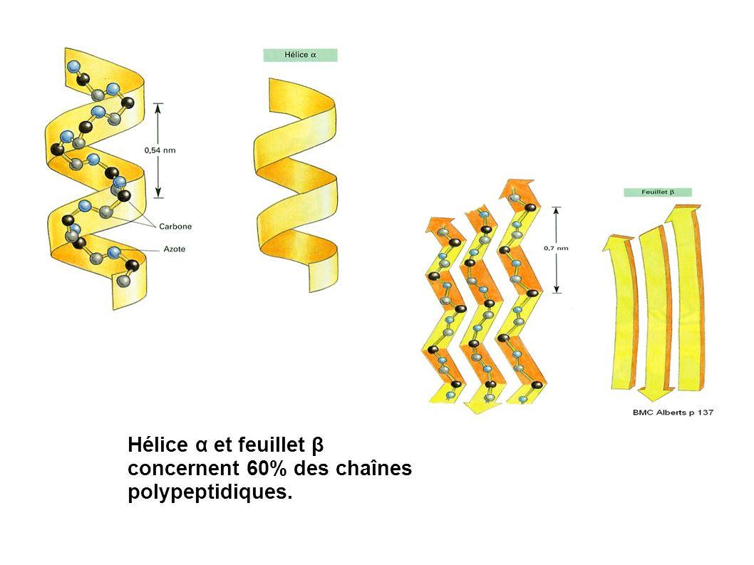 Hélice α et feuillet β concernent 60% des chaînes polypeptidiques.
