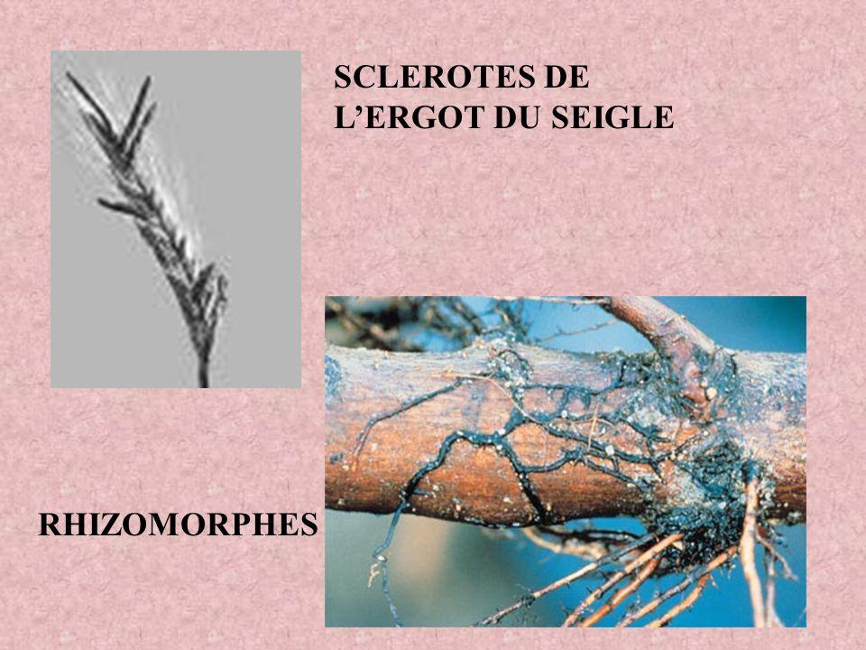 SCLEROTES DE L'ERGOT DU SEIGLE