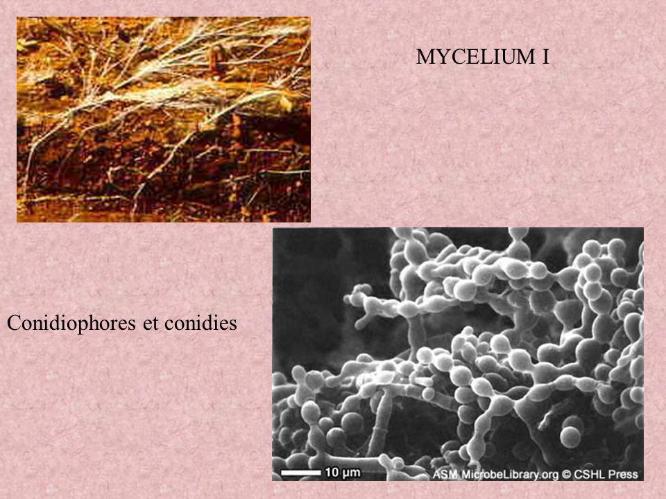 MYCELIUM I Conidiophores et conidies