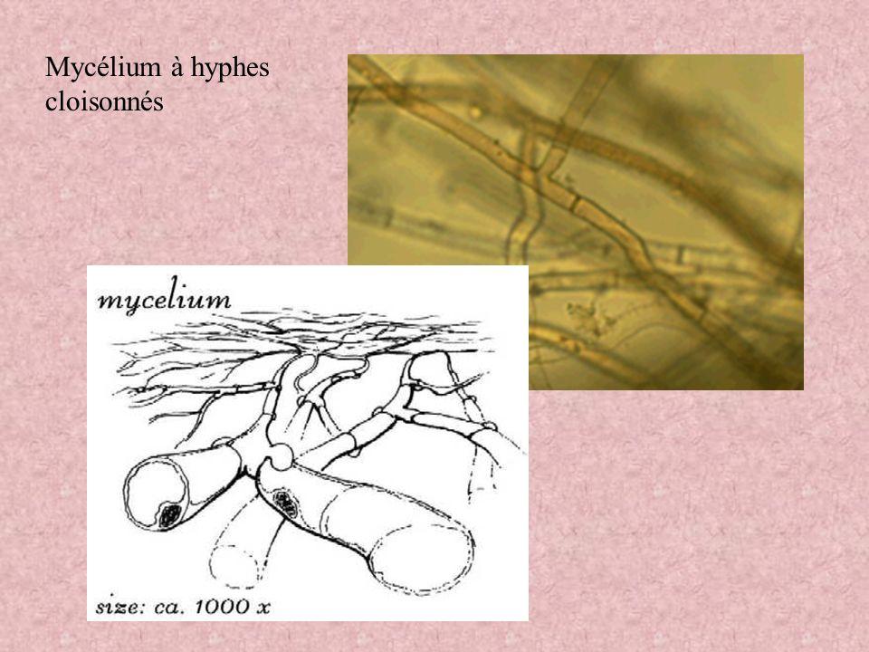Mycélium à hyphes cloisonnés