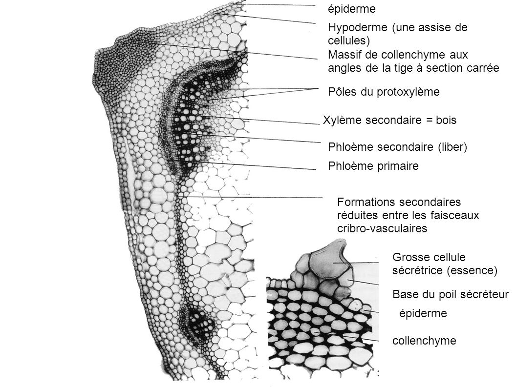 épiderme Hypoderme (une assise de cellules) Massif de collenchyme aux angles de la tige à section carrée.