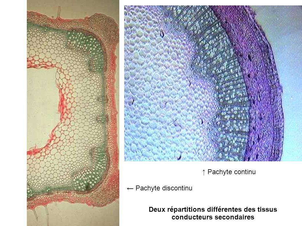 Deux répartitions différentes des tissus conducteurs secondaires