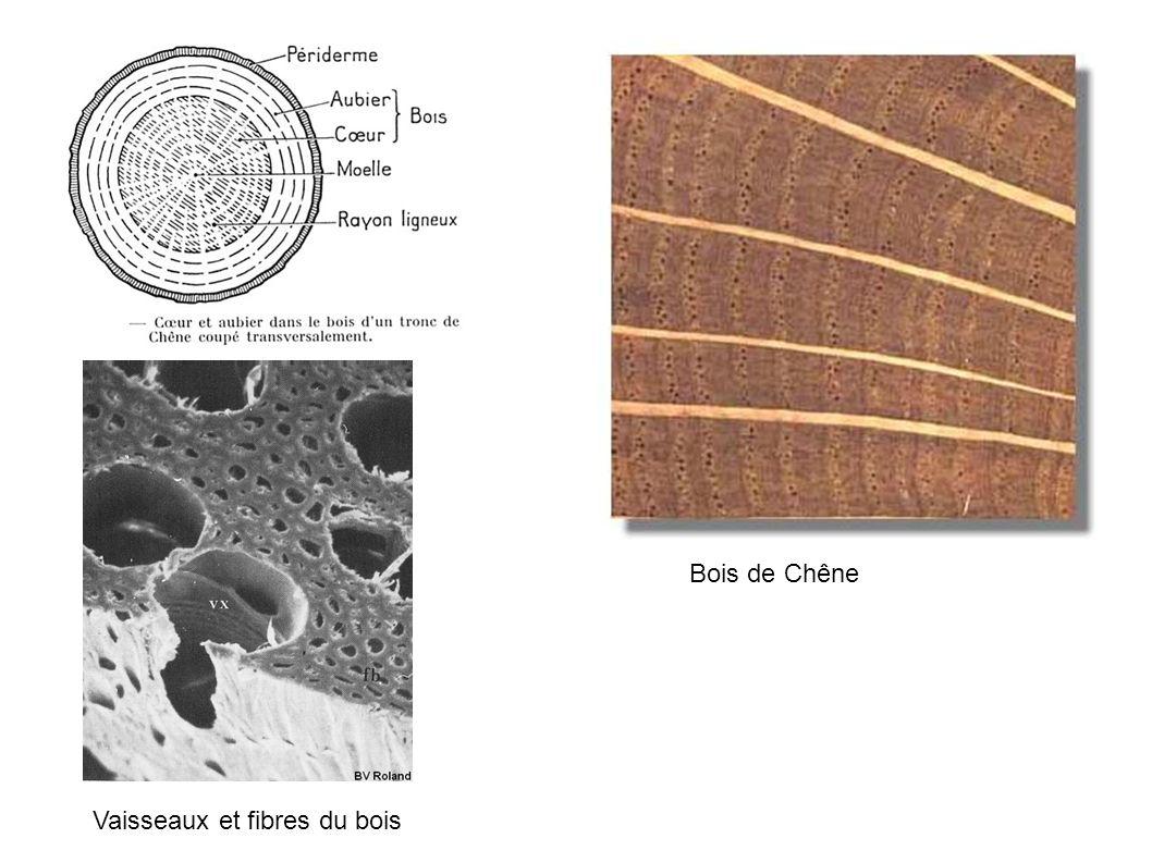 Bois de Chêne Vaisseaux et fibres du bois