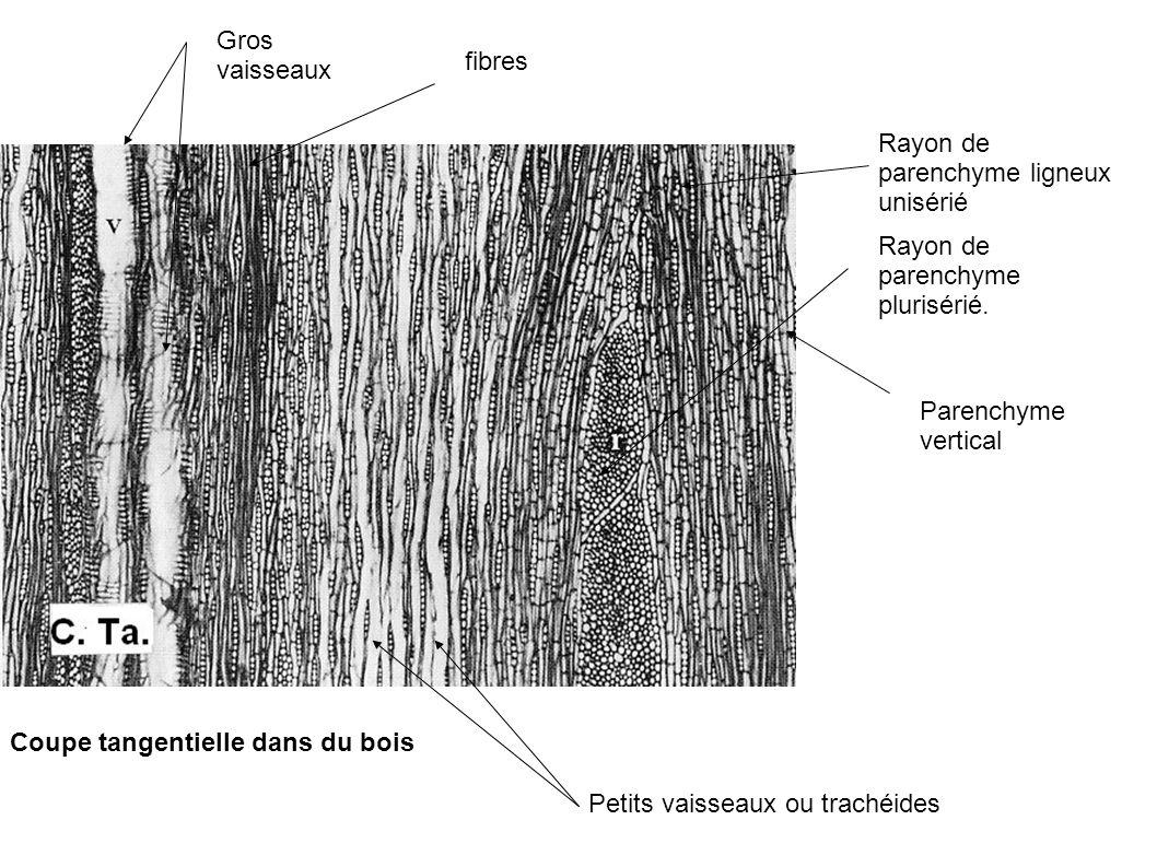 Gros vaisseaux fibres. Rayon de parenchyme ligneux unisérié. Rayon de parenchyme plurisérié. Parenchyme vertical.