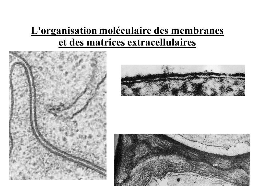 L organisation moléculaire des membranes et des matrices extracellulaires