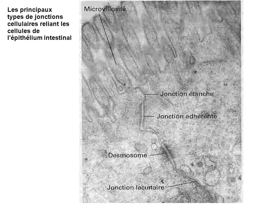 Les principaux types de jonctions cellulaires reliant les cellules de l épithélium intestinal