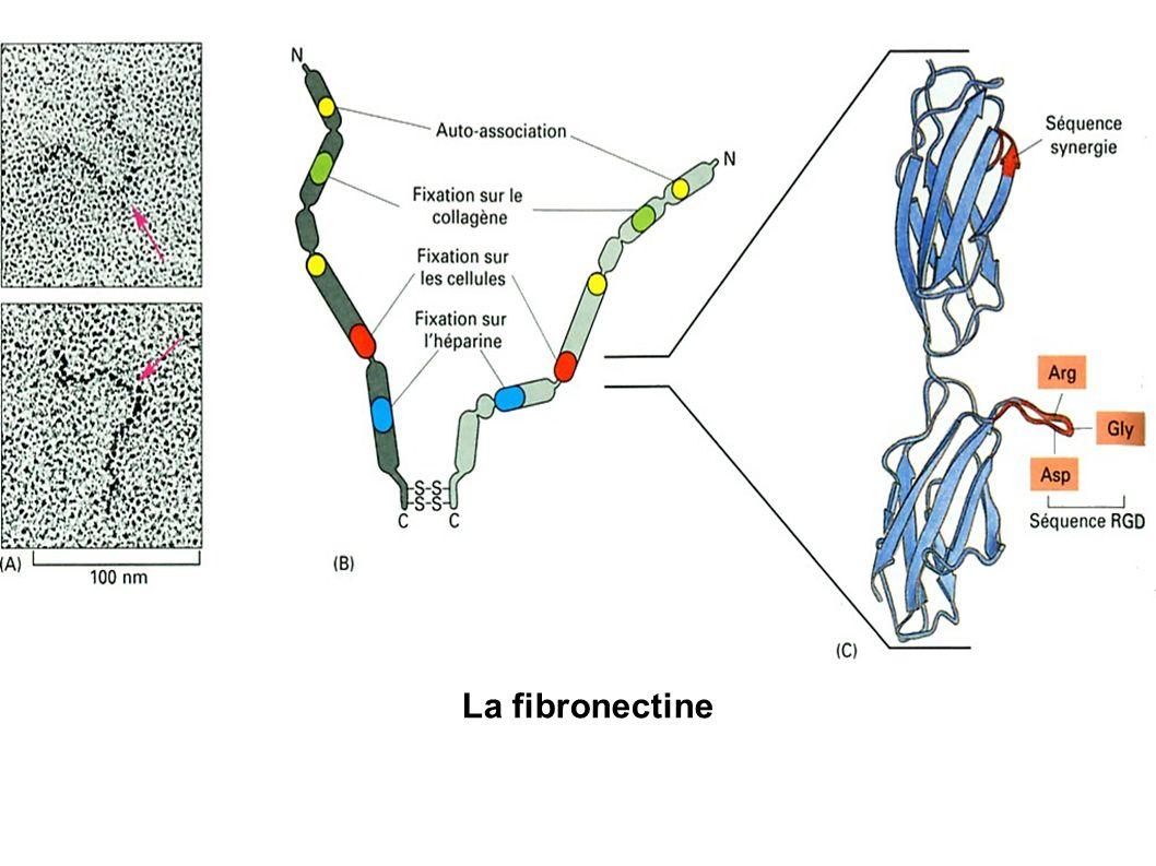 La fibronectine