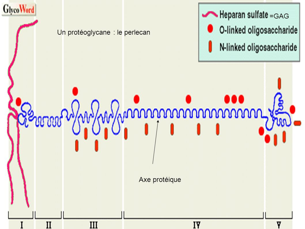 =GAG Un protéoglycane : le perlecan Axe protéique
