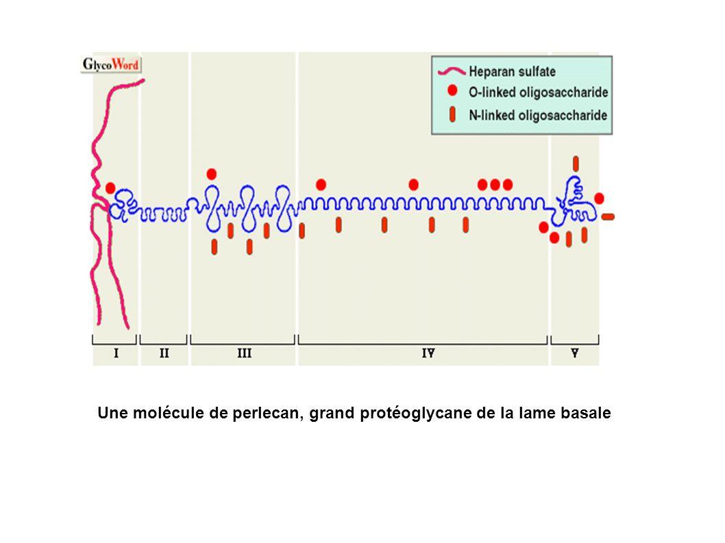 Une molécule de perlecan, grand protéoglycane de la lame basale