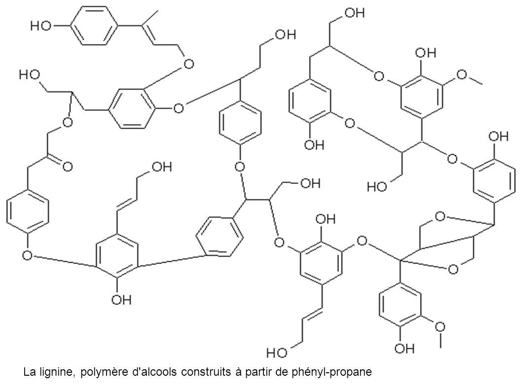 La lignine, polymère d alcools construits à partir de phényl-propane