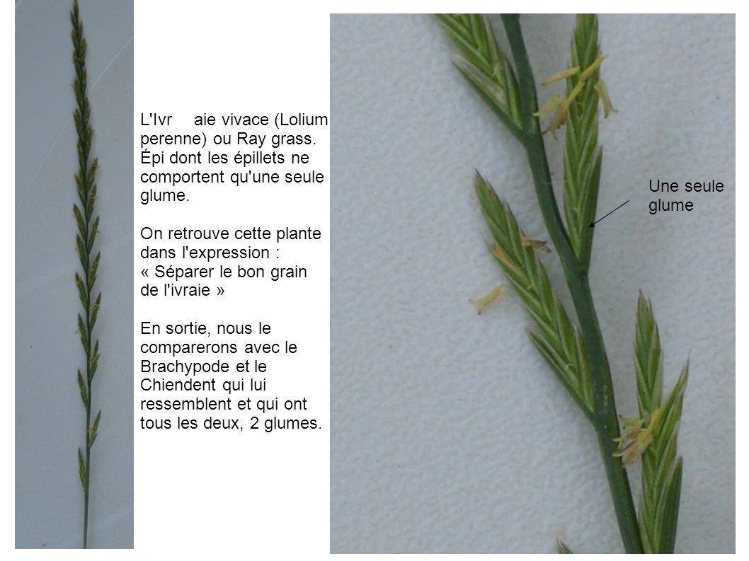 L Ivr aie vivace (Lolium perenne) ou Ray grass.