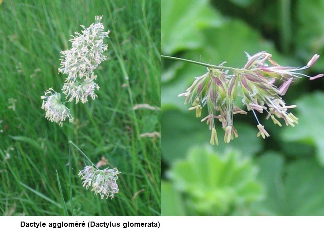 Dactyle aggloméré (Dactylus glomerata)