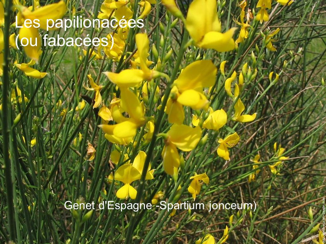 Genet d Espagne -Spartium jonceum)