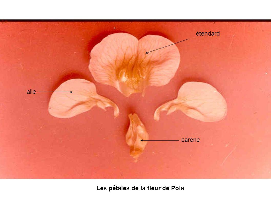 Les pétales de la fleur de Pois
