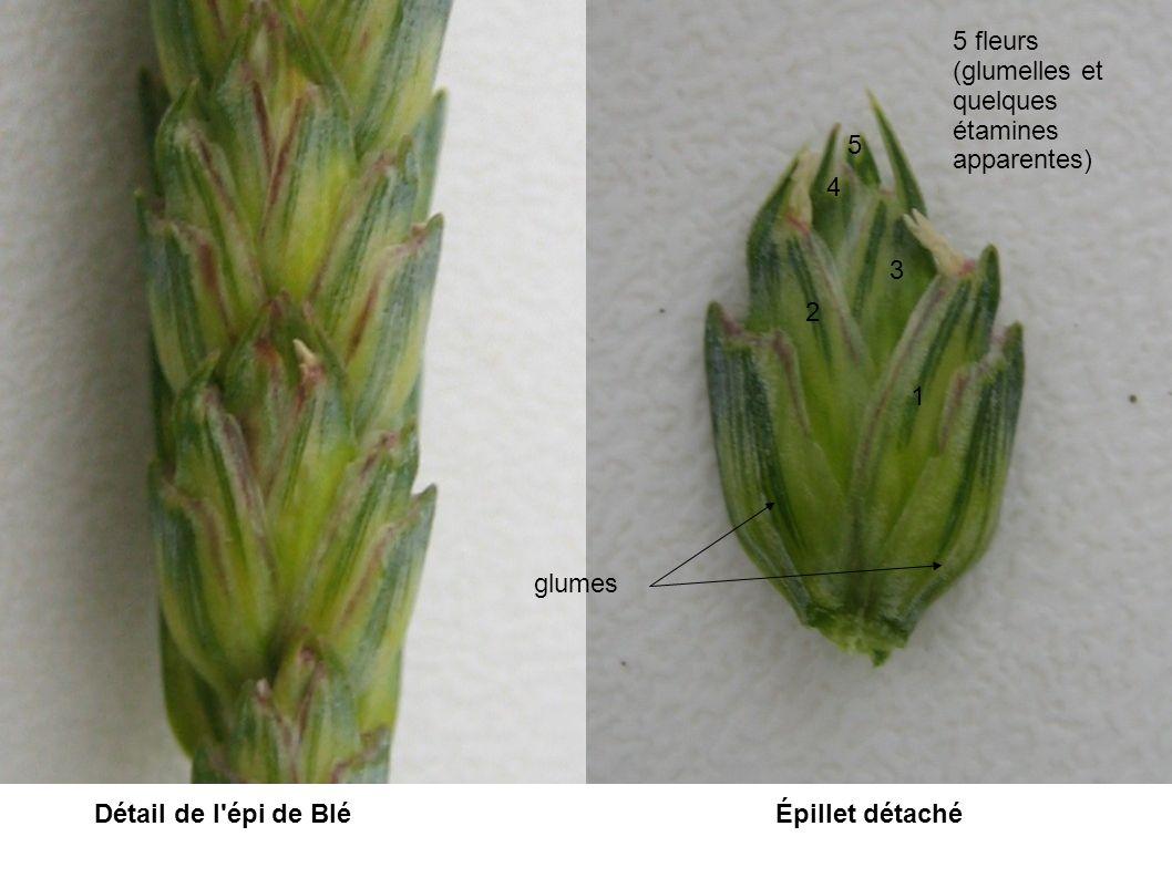 5 fleurs (glumelles et quelques étamines. apparentes) 5. 4. 3. 2. 1. glumes. Détail de l épi de Blé.