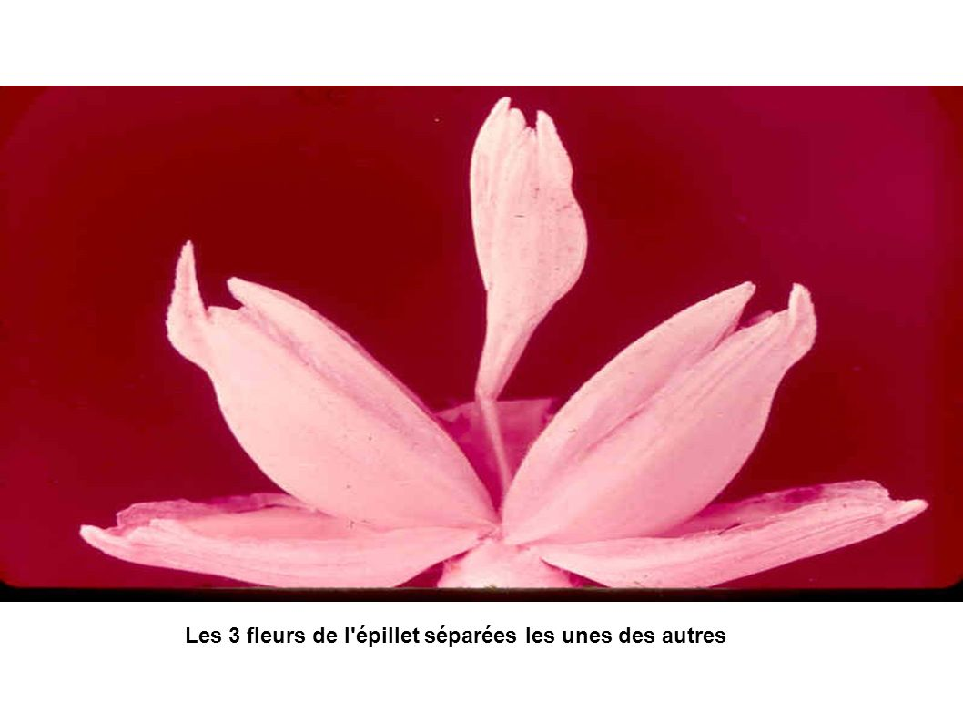 Les 3 fleurs de l épillet séparées les unes des autres
