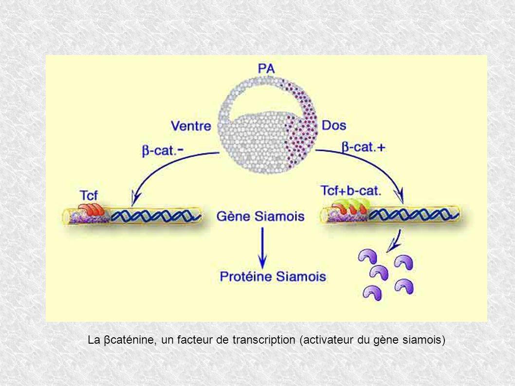 La βcaténine, un facteur de transcription (activateur du gène siamois)