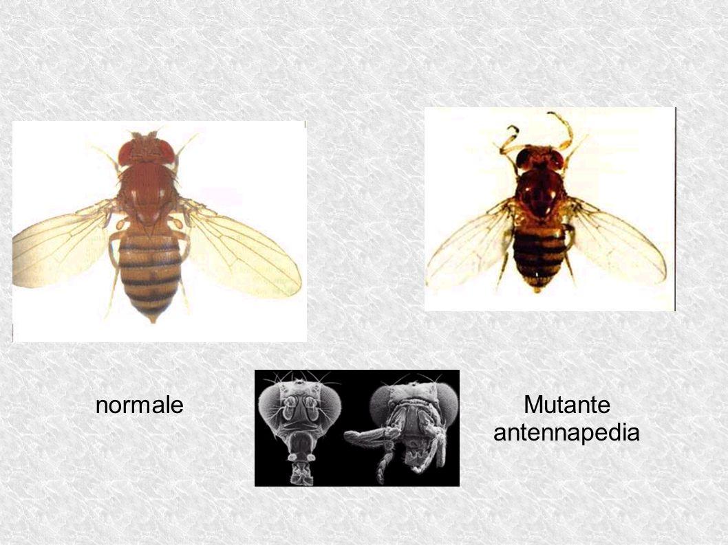 normale Mutante antennapedia