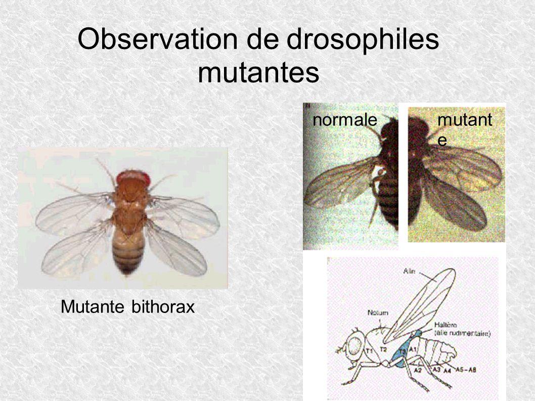 Observation de drosophiles mutantes