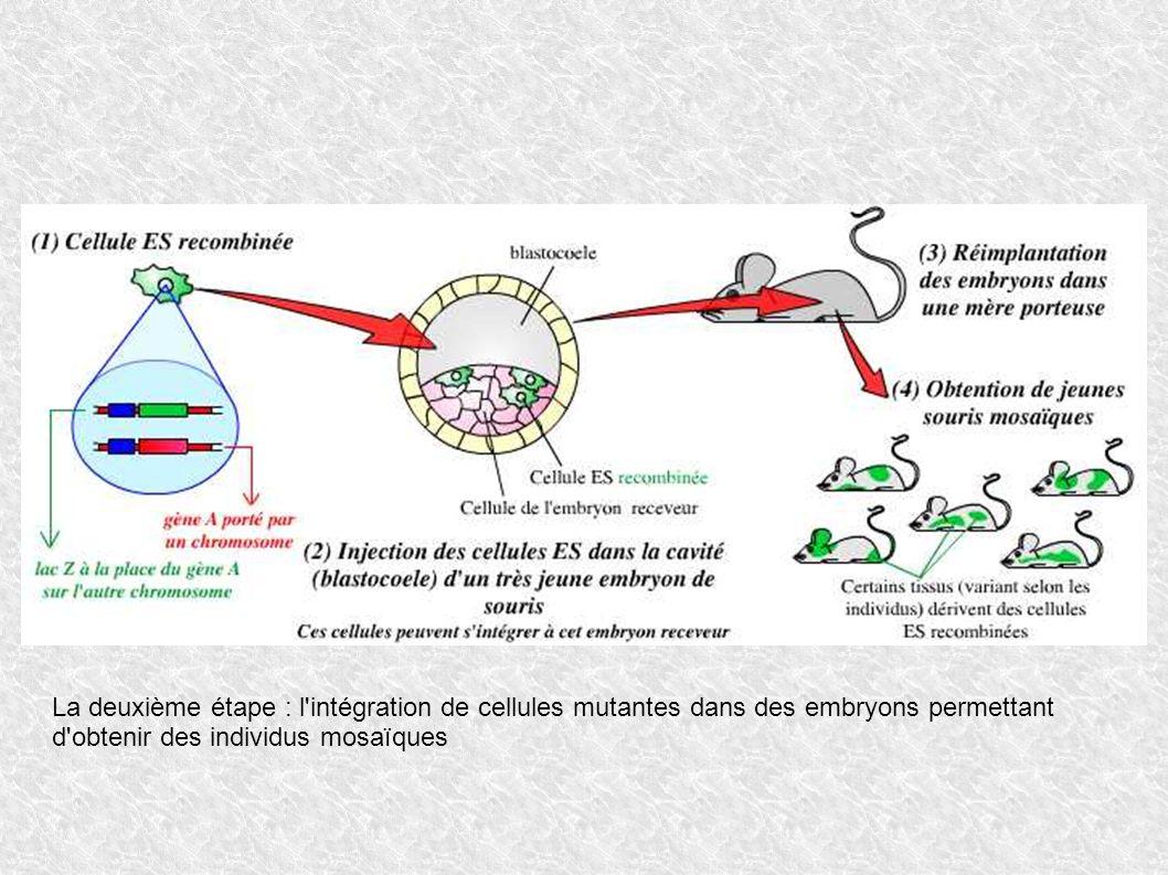La deuxième étape : l intégration de cellules mutantes dans des embryons permettant d obtenir des individus mosaïques