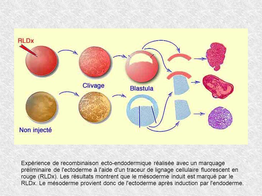 Expérience de recombinaison ecto-endodermique réalisée avec un marquage préliminaire de l ectoderme à l aide d un traceur de lignage cellulaire fluorescent en rouge (RLDx).