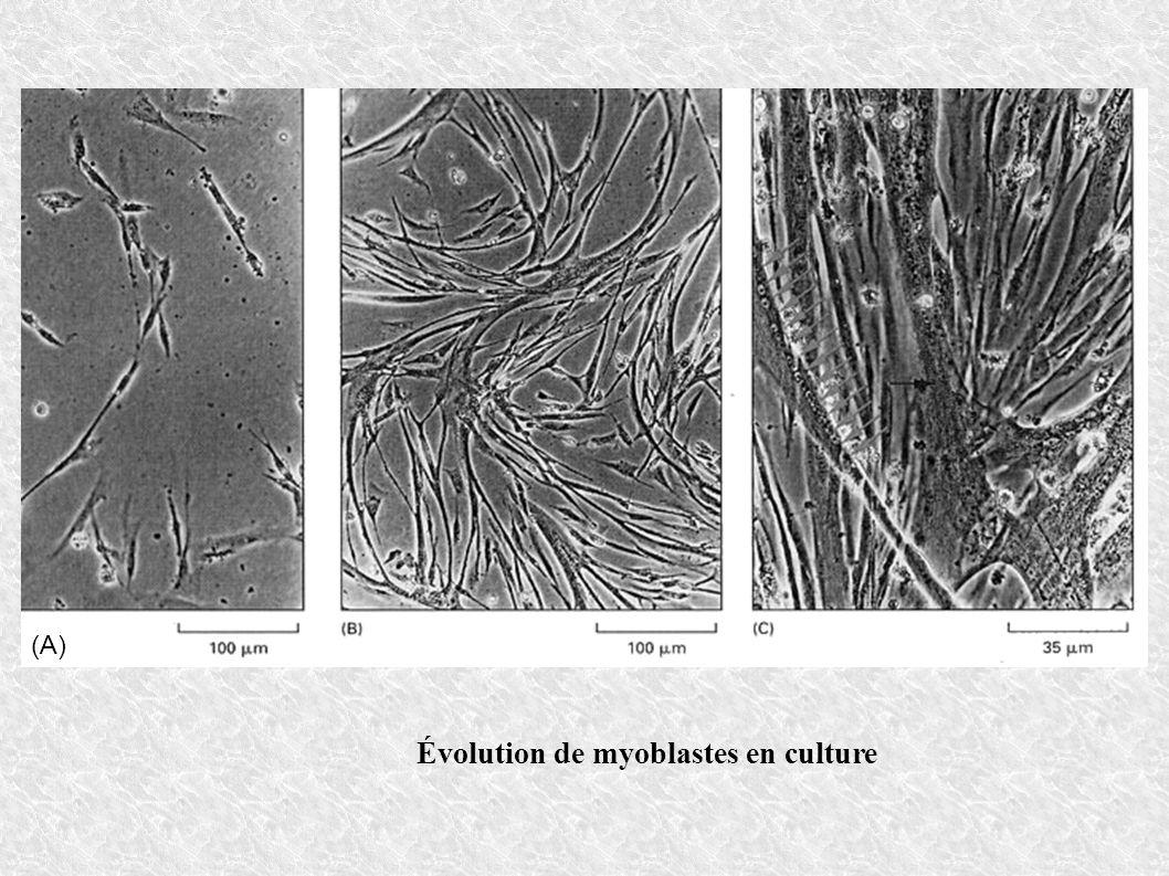 Évolution de myoblastes en culture