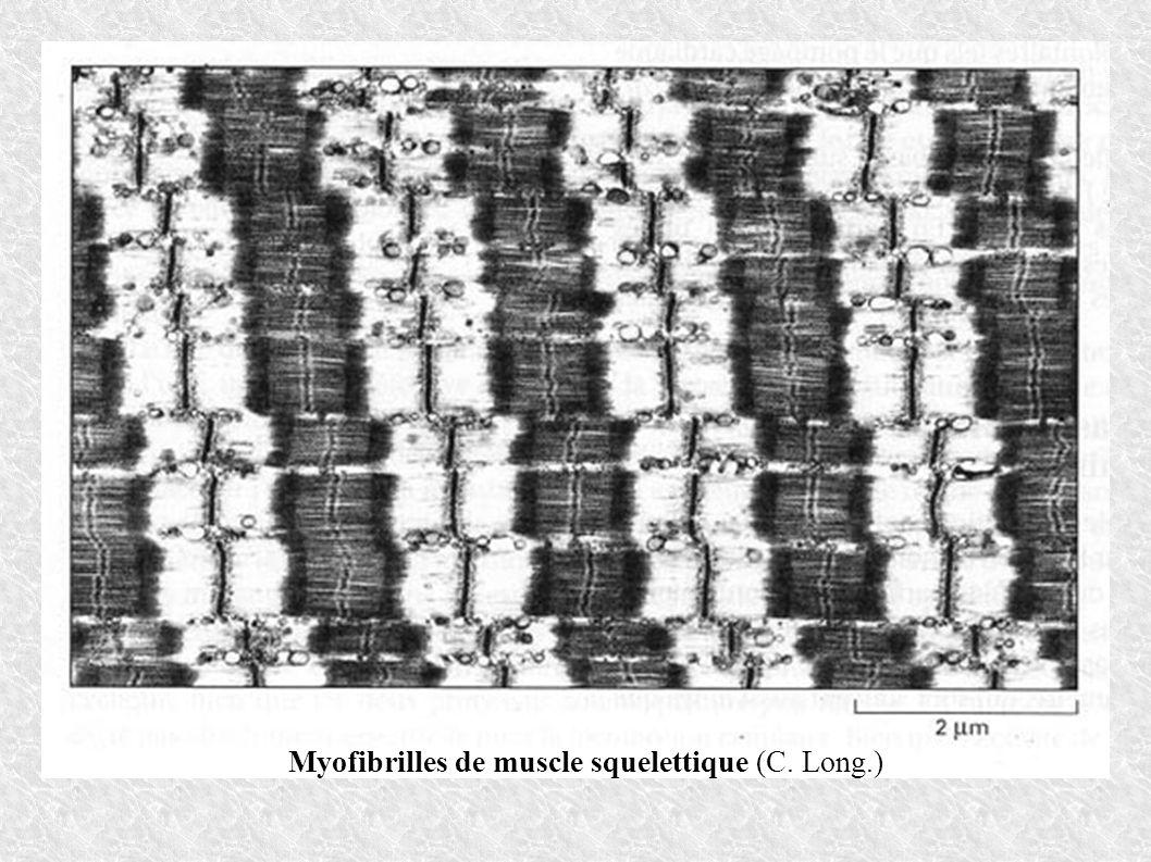 Myofibrilles de muscle squelettique (C. Long.)