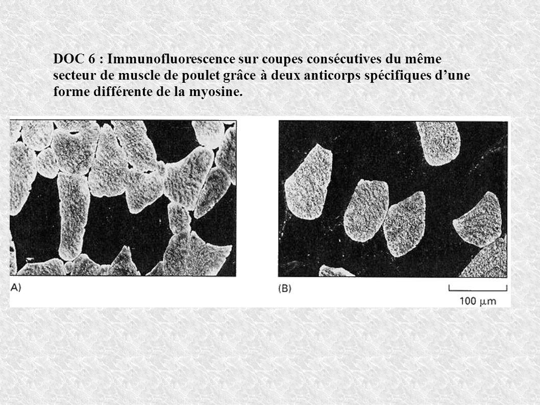 DOC 6 : Immunofluorescence sur coupes consécutives du même secteur de muscle de poulet grâce à deux anticorps spécifiques d'une forme différente de la myosine.