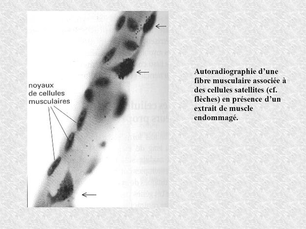 Autoradiographie d'une fibre musculaire associée à des cellules satellites (cf.