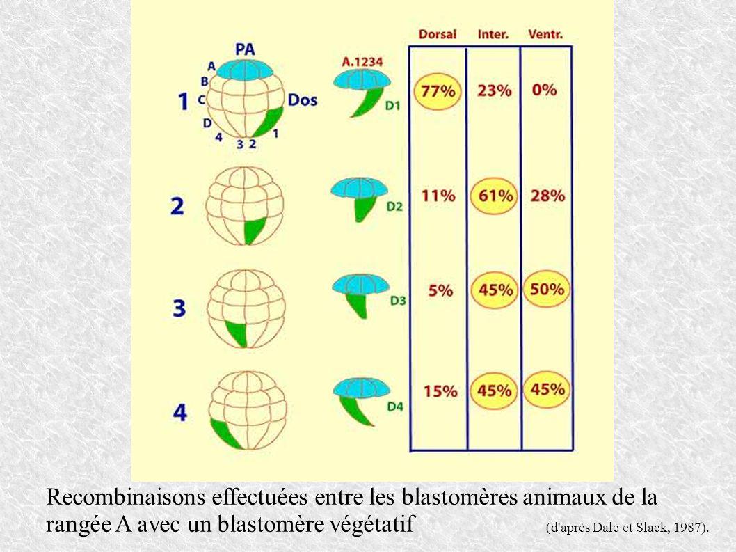 Recombinaisons effectuées entre les blastomères animaux de la rangée A avec un blastomère végétatif (d après Dale et Slack, 1987).