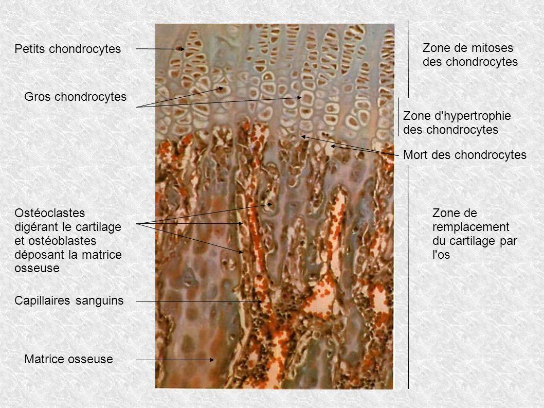 Petits chondrocytes Zone de mitoses des chondrocytes. Gros chondrocytes. Zone d hypertrophie. des chondrocytes.