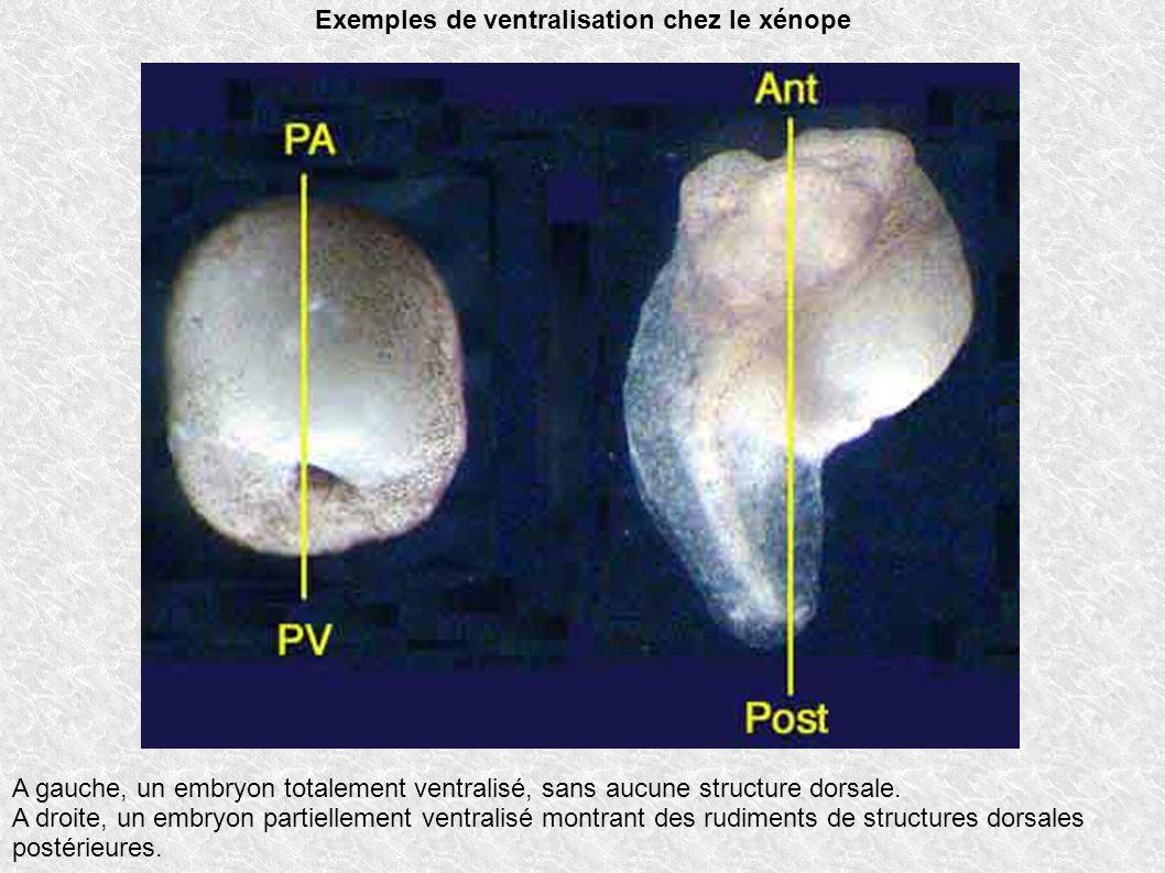 Exemples de ventralisation chez le xénope