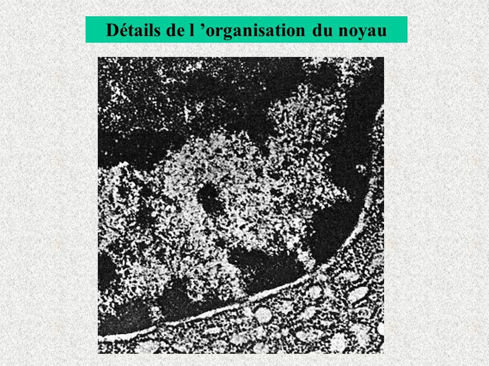 Détails de l 'organisation du noyau