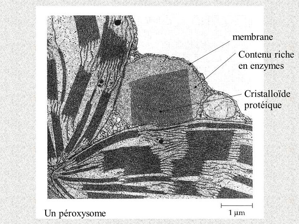 membrane Contenu riche en enzymes Cristalloïde protéique Un péroxysome